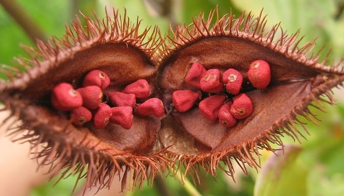 Annatto seeds / Belizean food