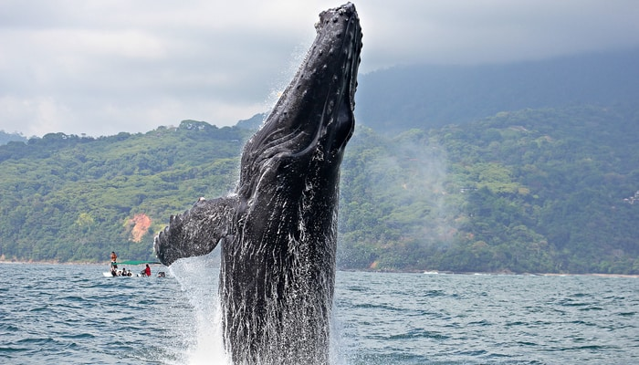 Whale season in Costa Rica means humpbacks like this in Drake Bay