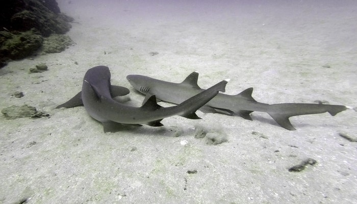 Diving in Costa Rica / White tip reef sharks
