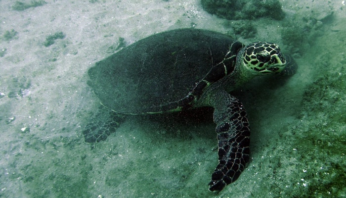 Diving in Costa Rica / Turtle off Caño Island