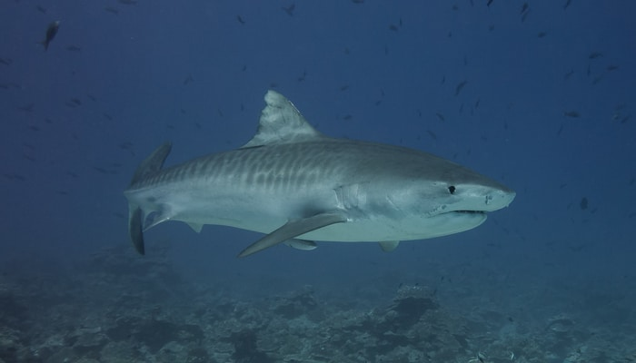 Diving in Costa Rica / Tiger shark